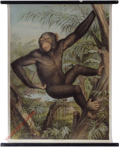 1 - Schimpanse