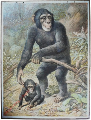 1 - Schimpanse [Herzien]