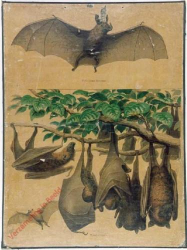 2 - Gemeine Fledermaus, Vampyr, Fliegender Hund