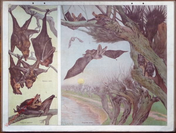 2 - Gemeine Fledermaus, Vampyr, Fliegender Hund [Herzien]