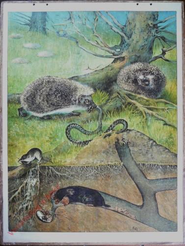 3 - Igel (Erinaceus europaeus), Maulwurf (Talpa europaea), (Sorex vulgaris) [Herzien]