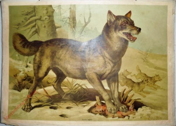 6 - Wolf (Canis lupus) [Herzien]
