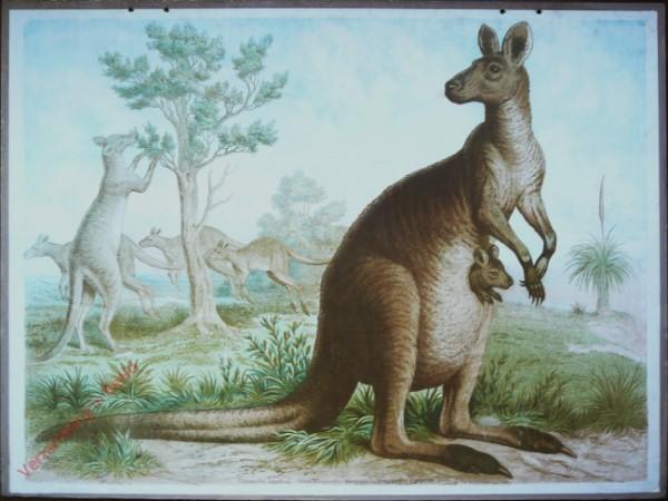 8 - Riesenk�nguruh (Halmaturus giganteus)