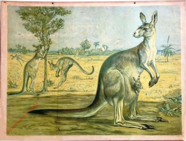 8 - Riesenk�nguruh (Halmaturus giganteus) [Herzien]