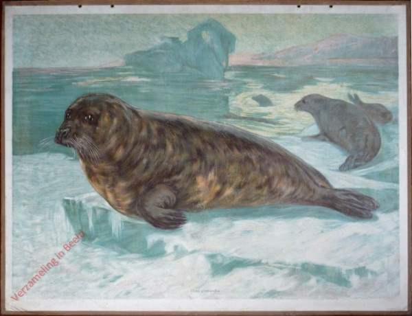 14 - Gr�nl�ndischer Seehund [Herzien]