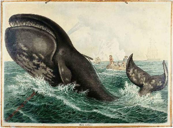 15 - Gr�nl�ndischer Walfisch (Balaena mysticetus)