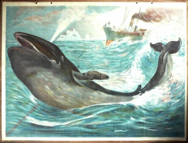 15 - Gr�nl�ndischer Walfisch (Balaena mysticetus) [Herzien]