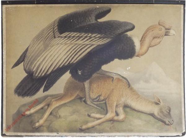 16 - Kondor (Sarcorhamphus gryphus)
