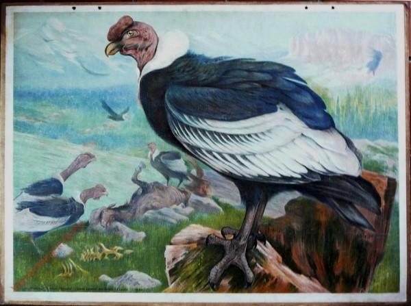 16 - Kondor (Sarcorhamphus gryphus) [Herzien]
