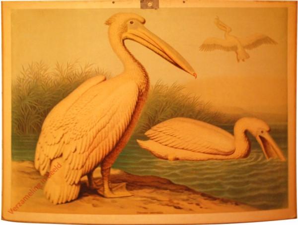 22 - Gemeiner Pelikan (Pelicanus onocrotalus)