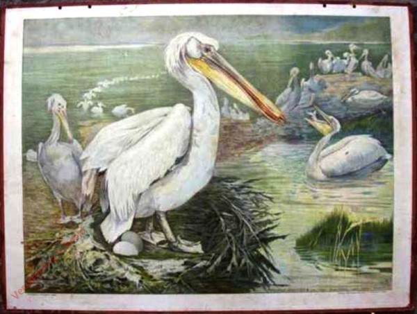 22 - Gemeiner Pelikan (Pelicanus onocrotalus) [Herzien]