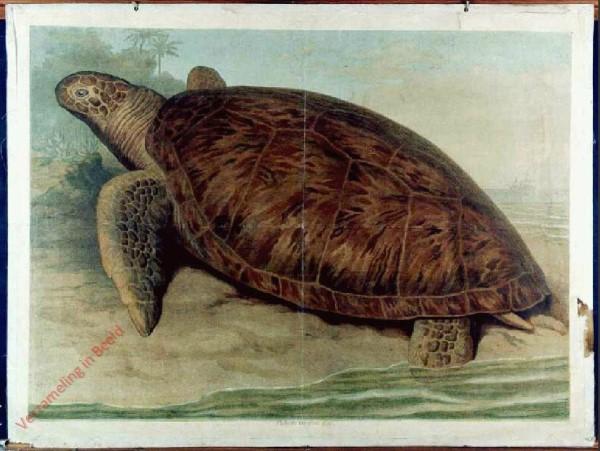 23 - Riesenschildkr�te (Chelone imbricata)