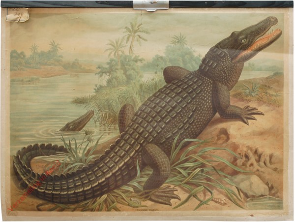 24 - Nilkrokodil (Crocodilus vulgaris Cuv.)