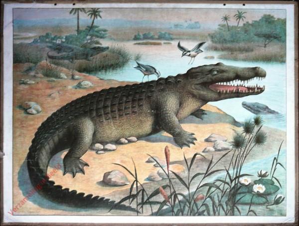 24 - Nilkrokodil (Crocodilus vulgaris Cuv.) [Herzien]