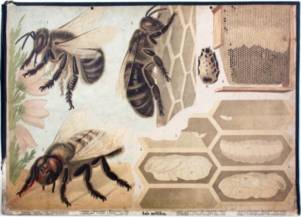 30 - Honigbiene