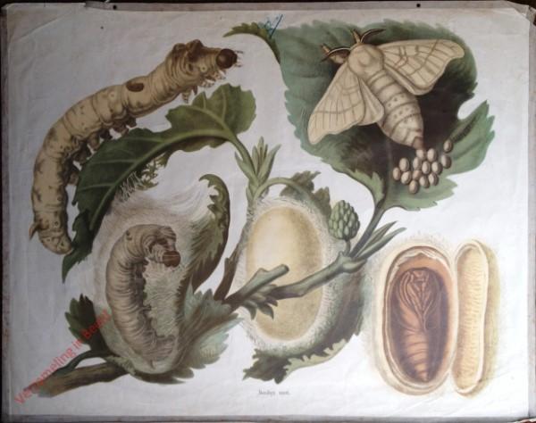 31 - Seidenspinner (Ombyx mori)