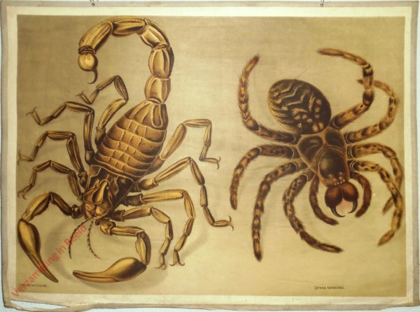 32 - Skorpion (Buthus occitanus), Tarantel (Lycosa tarantula)