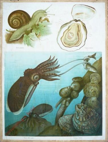 35 - Tintenfisch (Sepia officinalis), Schnecke (Helix pomatia), Auster (Ostrea edulis)