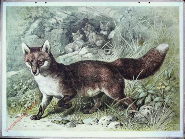 38 - Fuchs (Canis vulpes)