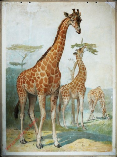 39 - Giraffe