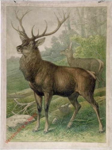 43 - Hirsch  (Cervus elaphus)