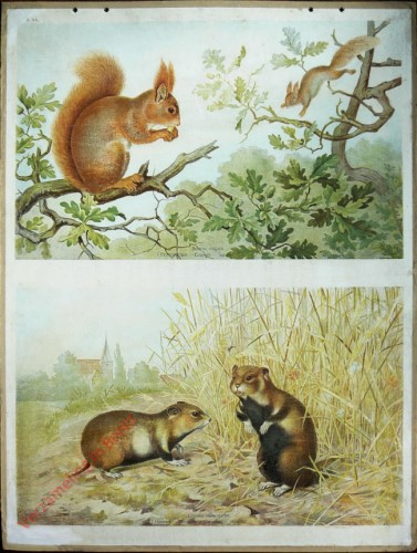 46 - Eichh�rnchen mit Hamster