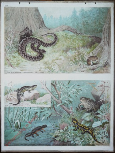 48 - Kreuzotter, Salamander, Eidechse, Kr�te
