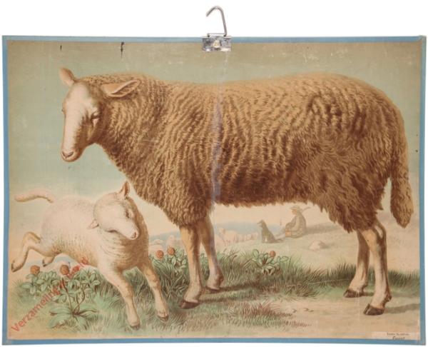 7 - Schaf