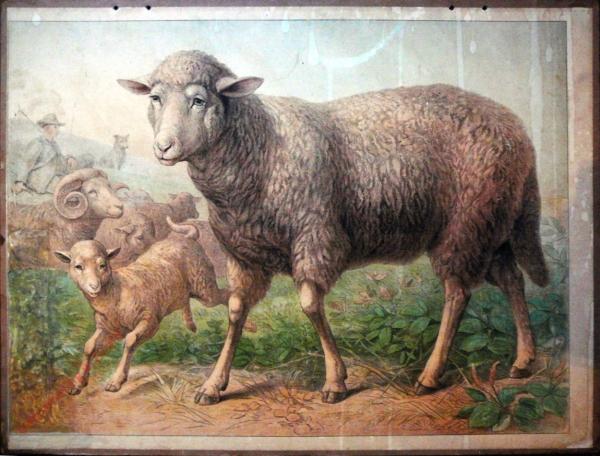 7 - Schaf [Herzien]