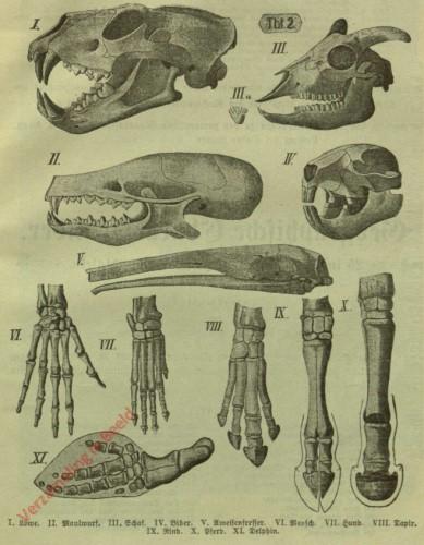 Tbl. 2 - Vergleichende Zusammenstellung von Sch�deln und Gebissen; desgleichen von (Hand-)Fussskeletten