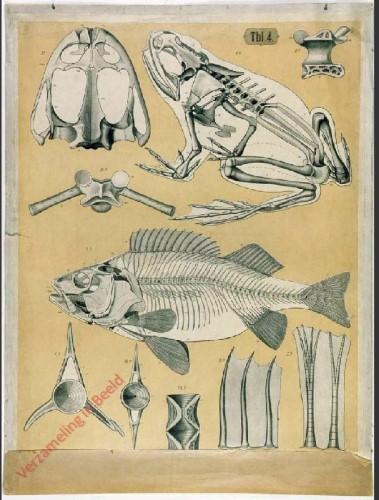 Tbl. 4 - Skelett vom Frosch und Barsch Wirbel Flossenstrahlen.