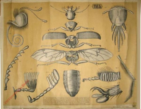 Tbl. 5 - Skelett eines Laufk�fers, Kopf und Fussteile der Biene, des Kohlweisslings und der Stubenfliege