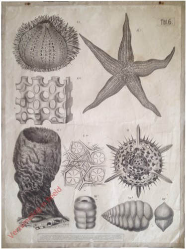Tbl. 6 - Kalkskelett des Seeigels und Seesternes. Hornskelett des Schwammes