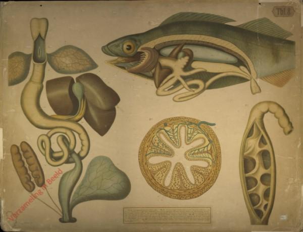 Tbl. 8 - Verdauungsorgane vom Frosch; innere Organe vom Barsch etc.