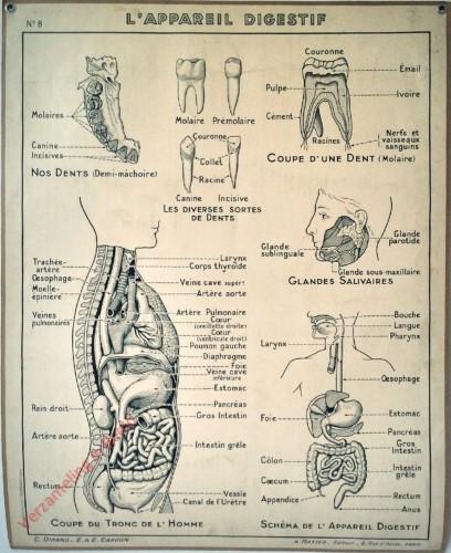 8 - L'appareil digestif