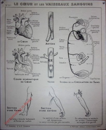 9bis - Le coeur et les vaisseaux sanguins