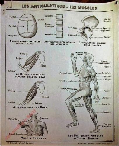 11 - Les articulations-les muscles