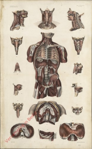6 - Myologie, Aponévrologie. Plan postérieur