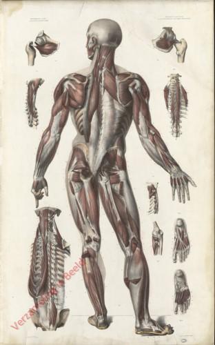 8 - Myologie, Aponévrologie. Details d'appareils partiels