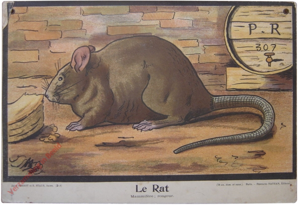 2-3 - Le Rat. Mammif�re; rongeur