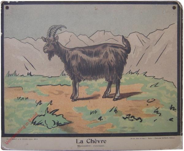 6-3 - La Ch�vre. Mammif�re; ruminant