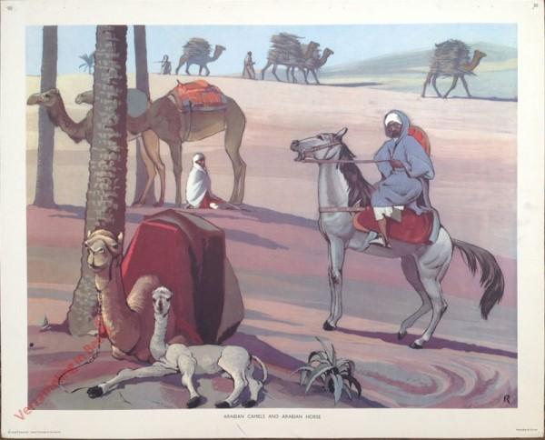 20 - Arabian Camels
