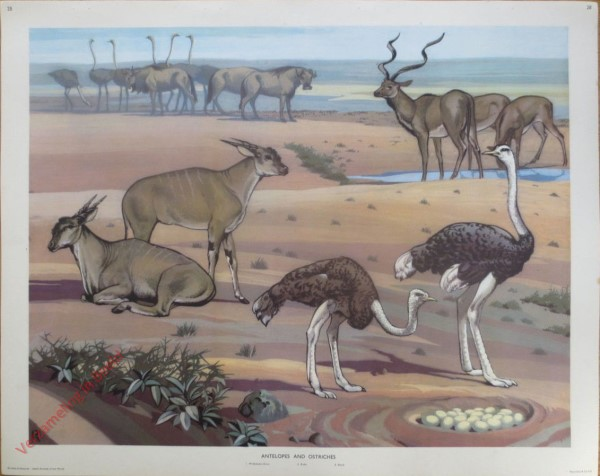 28 - Antelopes and Ostriches