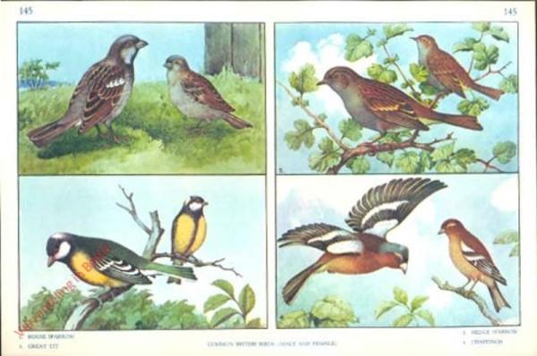 145 - Common British Birds