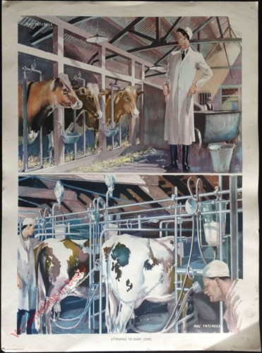 Set 1-11 - Attending to dairy cows