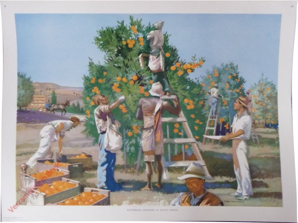 Set 1-36 - Gathering oranges in South Africa