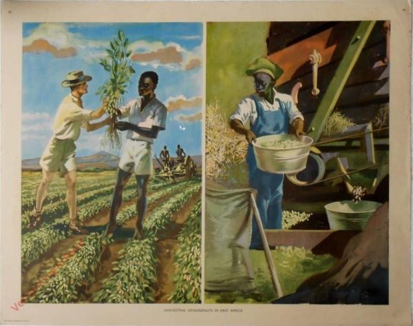 Set 1-41 - Harvesting groundnuts East Africa