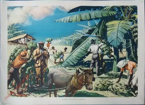 Set 1-47 - A banana plantation In Jamaica