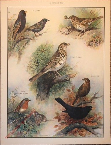 BRIDS - 2 - Soft-billed birds