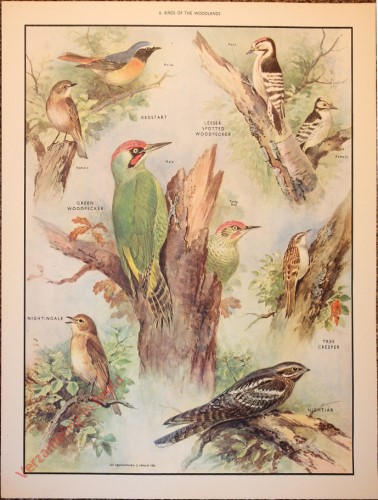 BRIDS - 6 - Birds of the woodlands